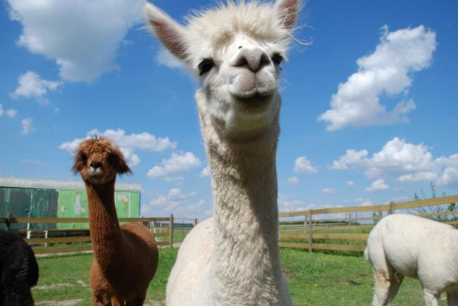 The alpacas at the Park Hall Countryside Experience