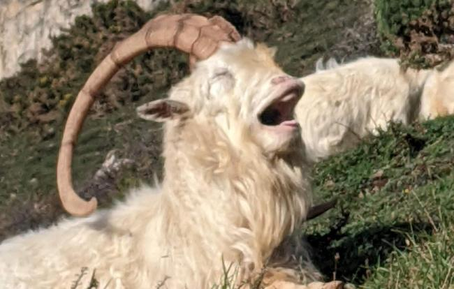 Rhiannon Pritchard was out on a walk when she spotted the goat yawning. Picture: Rhiannon Pritchard