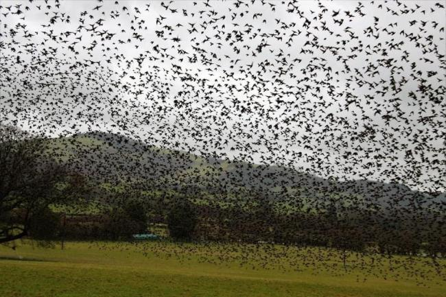 Starlings in Llansilin. Picture by Wendy Clough Jones