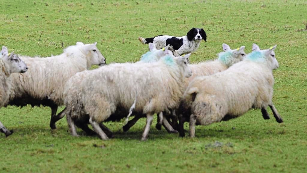 Police have issued a warning over sheep worrying