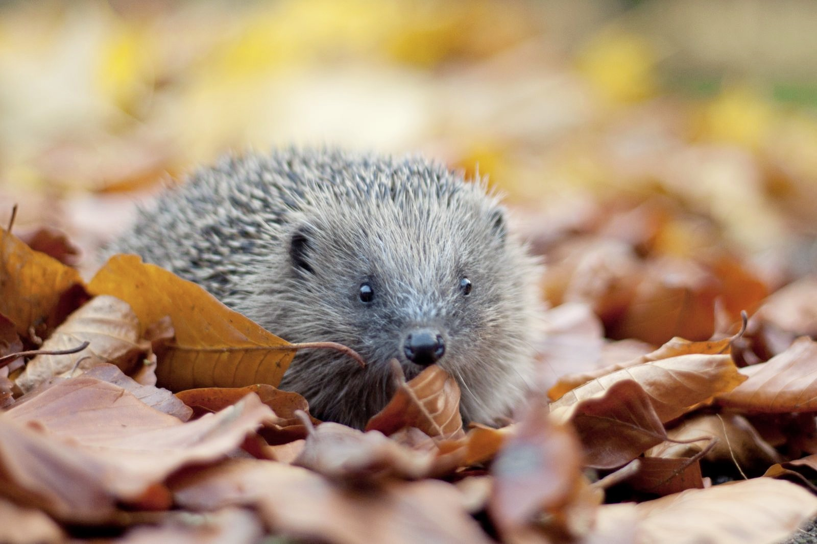 Rural hedgehogs are in decline