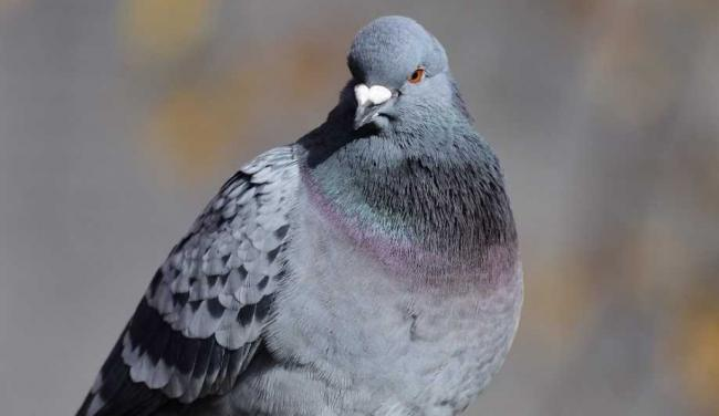 Library image of pigeon